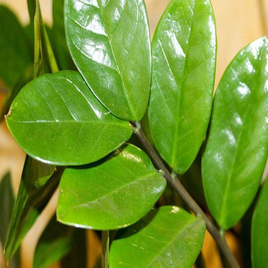 zamioculcas o pianta di padre pio