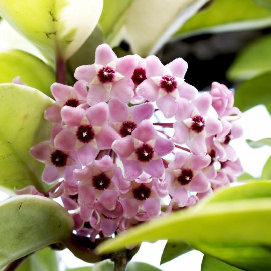 fiore di cera hoya