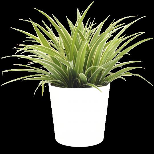 clorofito